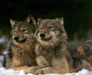 2 loups, histoire de sagesse LiensPsy